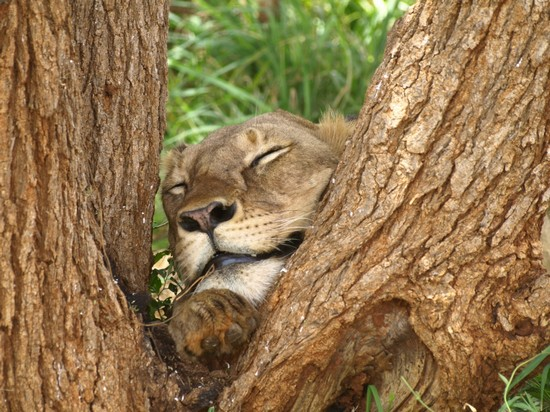 38713_the_lion_sleeps_today_malindi