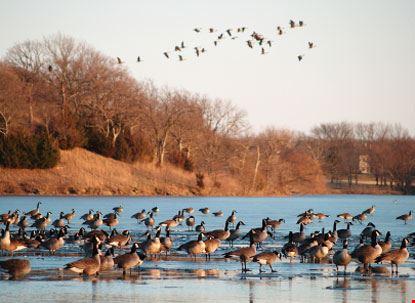 Oche selvatiche sul lago Shawnee