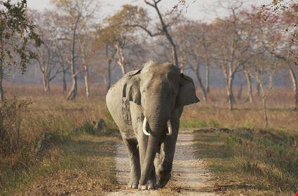 Wild male Asian Elephant walking along a track