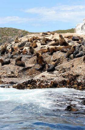 Photo Australian fur seals in Brunie - Pictures and Images of Brunie - 280x425  - Author: Editorial Staff, photo 2 of 2