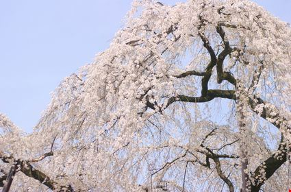 A weeping cherry tree in full bloom at Seiunji temple