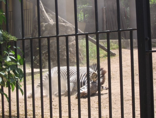Photo roma zebra in Rome - Pictures and Images of Rome - 550x414  - Author: LAVINIA, photo 13 of 993