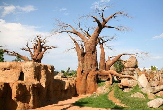 Alberi di baobab nel bioparco