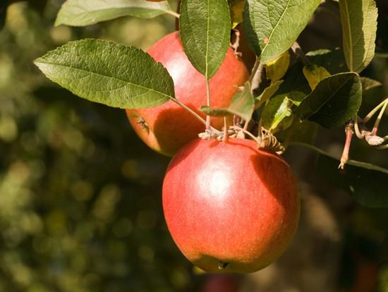 Scoprire la mela fuji itinerari e escursioni a tientsin - Mele fuji coltivazione ...