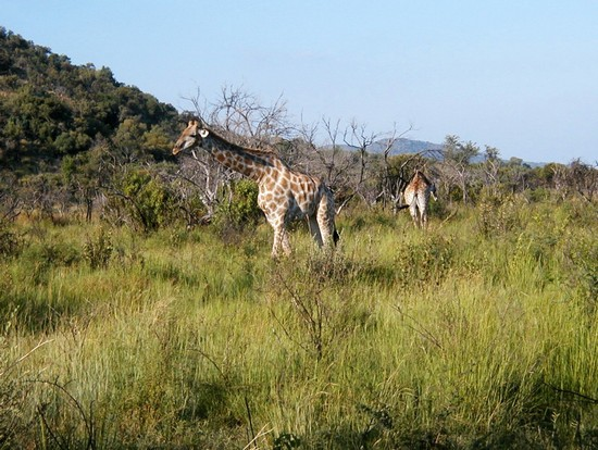 Photo johannesburg pilanesber  np in Johannesburg - Pictures and Images of Johannesburg - 550x414  - Author: ALBERTO, photo 1 of 100
