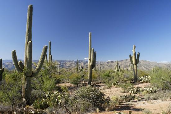21033_tucson_cactus_forest.jpg