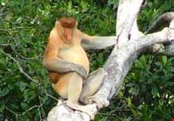 21482 kuala lumpur prosbosic monkey