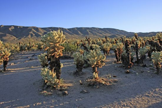 Photo Cholla Cactus Garden in Joshua Tree National Park - Pictures and Images of Joshua Tree National Park - 550x366  - Author: Editorial Staff, photo 1 of 9