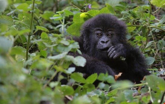 kampala mountain gorilla safari