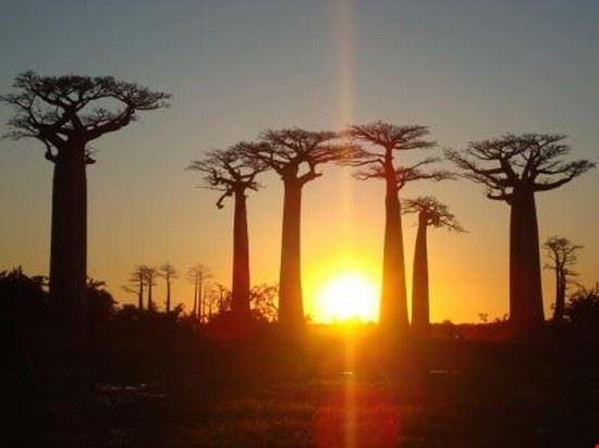 Avenue of the Baobabs / Morondava / Madagascar