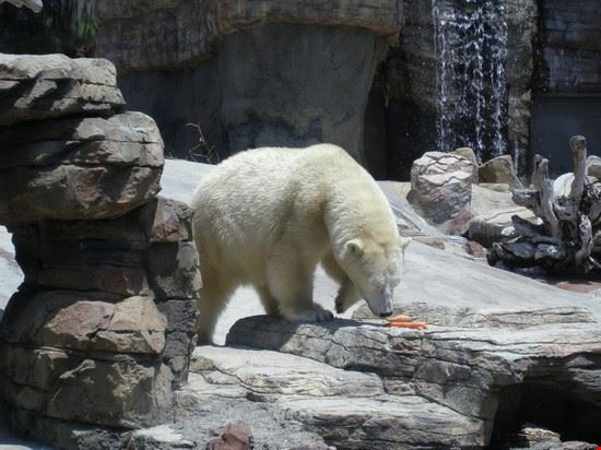 a polar bear in san diego zoo