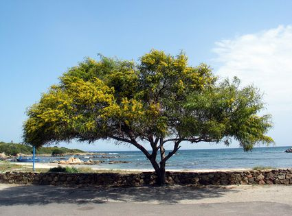 Foto albero di acacia a san teodoro 425x315 autore for Acacia albero