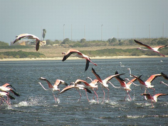 Photo Flamingos! in Cagliari - Pictures and Images of Cagliari - 550x412  - Author: Lula, photo 1 of 95