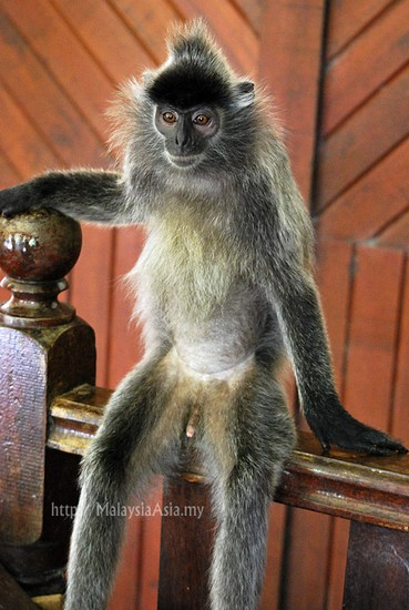 Photo long tail macaque in labuk sabah in Sabah - Pictures and Images of Sabah