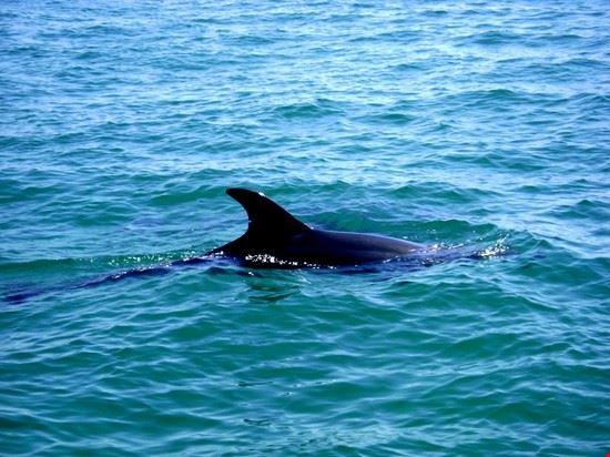 Golfinos (delfini)