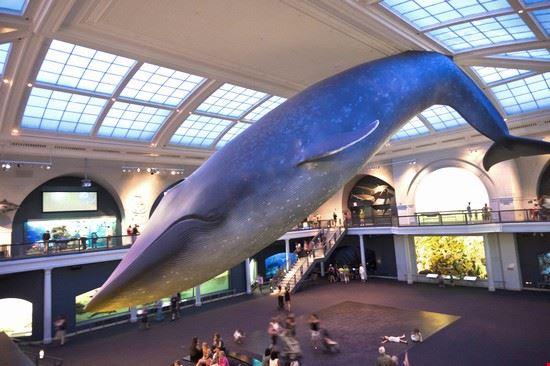 51749 new york la balena al museo di storia naturale