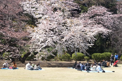 Photo tokyo tokyo in primavera durante la fioritura dei ciliegi in Tokyo - Pictures and Images of Tokyo - 500x334  - Author: Editorial Staff, photo 1 of 118