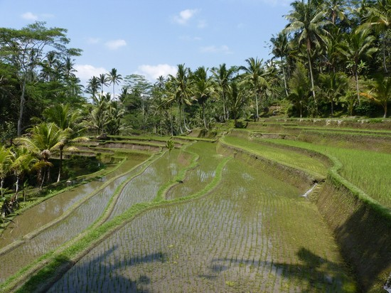 Photo risaie bali in Bali - Pictures and Images of Bali - 550x412  - Author: Roberto, photo 14 of 36