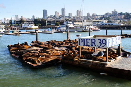 Photo san francisco leoni marini al pier 39 in San Francisco - Pictures and Images of San Francisco - 550x366  - Author: Editorial Staff, photo 1 of 211