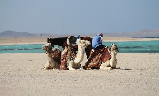 Photo Cammelli in spiaggia in Marsa Alam - Pictures and Images of Marsa Alam