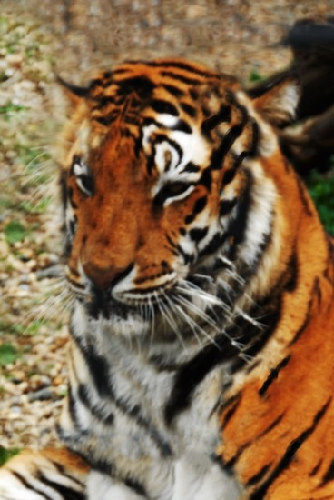 Photo Tiger at the Zoo in Michigan City - Pictures and Images of Michigan City
