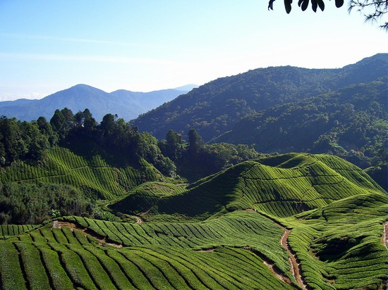 Photo Cameron Highlands in Cameron highlands - Pictures and Images of Cameron highlands - 550x412  - Author: Editorial Staff, photo 1 of 1