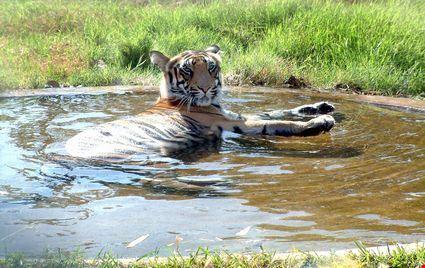 Tigre in uno stagno