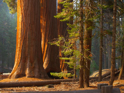 Photo Sequoie del Sequoia National Park in Sequoia National Park - Pictures and Images of Sequoia National Park