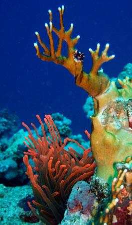 foto coralli marini a sharm el sheikh 265x453 autore