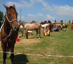 cavalli_in_sosta_al_campo_fiera