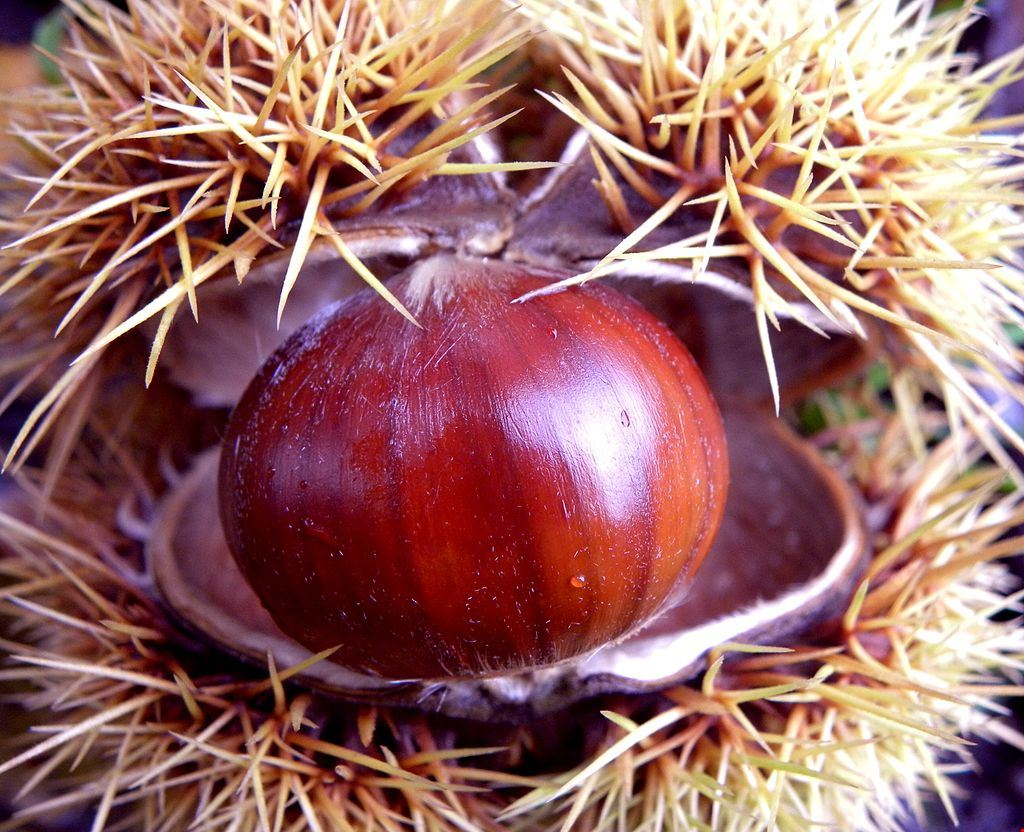 Castanea_sativa_-_Sweet_chestnut.jpg