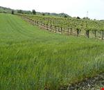 1280px-Controguerra_vineyards.jpg