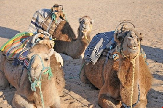 Camels  from Douz