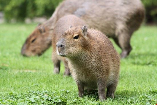 Baby Capybara + Mother