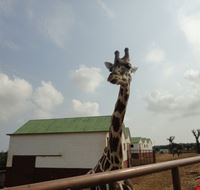 giraffa fasano