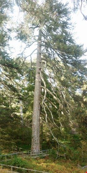 sequoie nella sila
