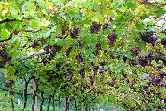 101418 caldaro sulla strada del vino strada del vino alto adige