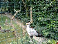 falco serpentario
