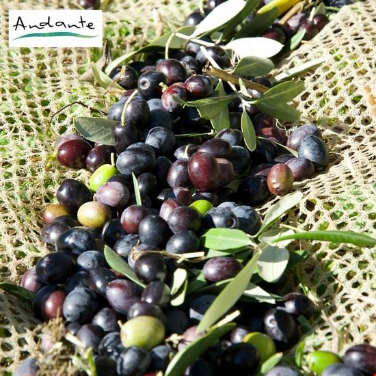 106001 reggello olive