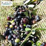 reggello olive