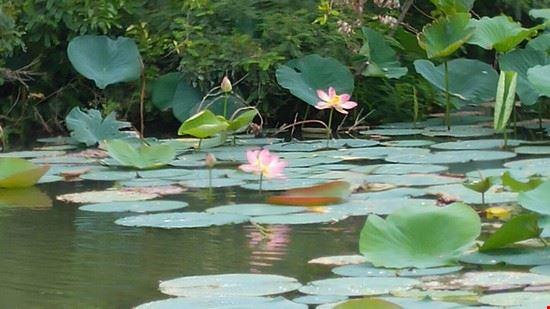 Navigando tra i fiori di loto