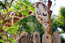 sacramento sacramento zoo giraffe