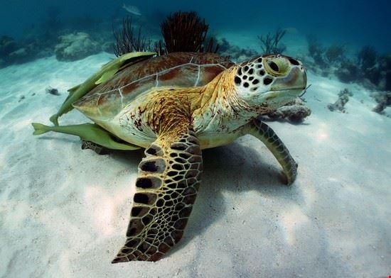 akumal tartarughe