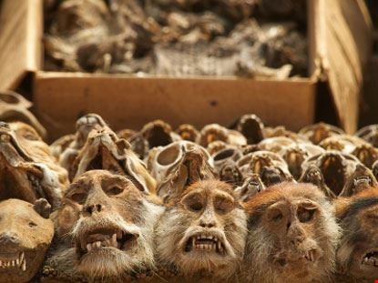 Teschi animali per cerimonie woodoo