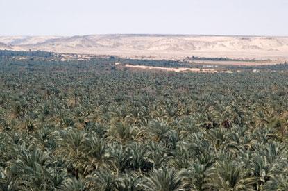 Photo bahariya oasis foresta di palme in Bahariya Oasis - Pictures and Images of Bahariya Oasis