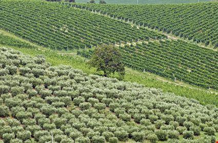 Landscape at summer with vineyards