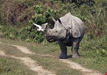 Indian one horned rhinoceros
