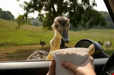 An emu eating out of a bucket