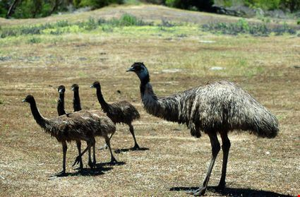 Emu and her chicks