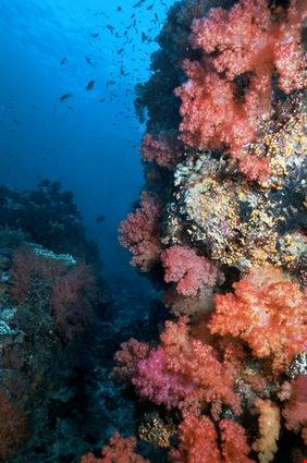 Corals in Fiji Reef